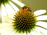Bee on white cone flower