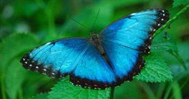 Sophia M. Sachs Butterfly House March Morpho Mania