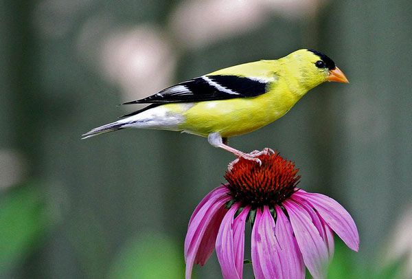 Goldfinch on Flower