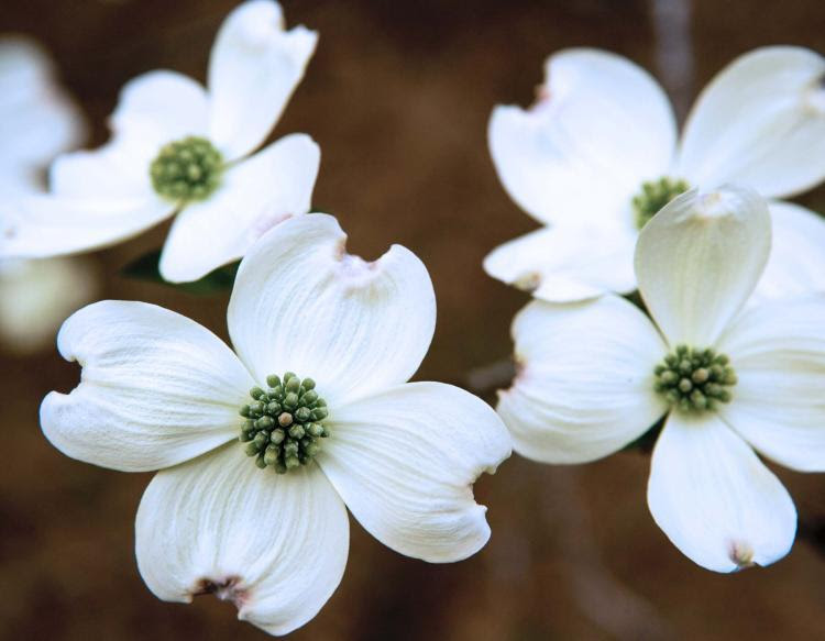 Arbor Day Dogwood Blooms